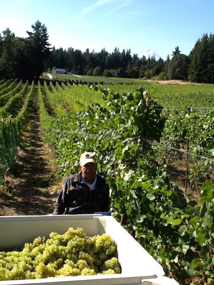Brehm Vineyards Harvesting Grapes
